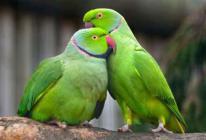 Азеpбайджанские попугаи,