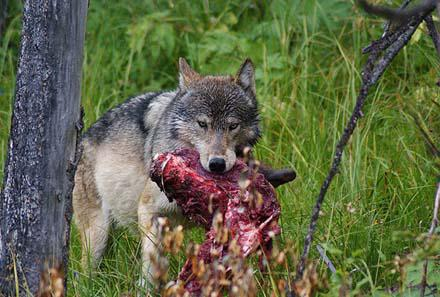 Этот серый, серый волк!