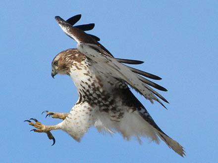 Охрана ловчих птиц