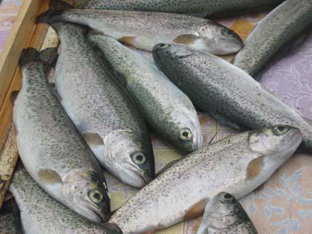 Возрождение куринского лосося